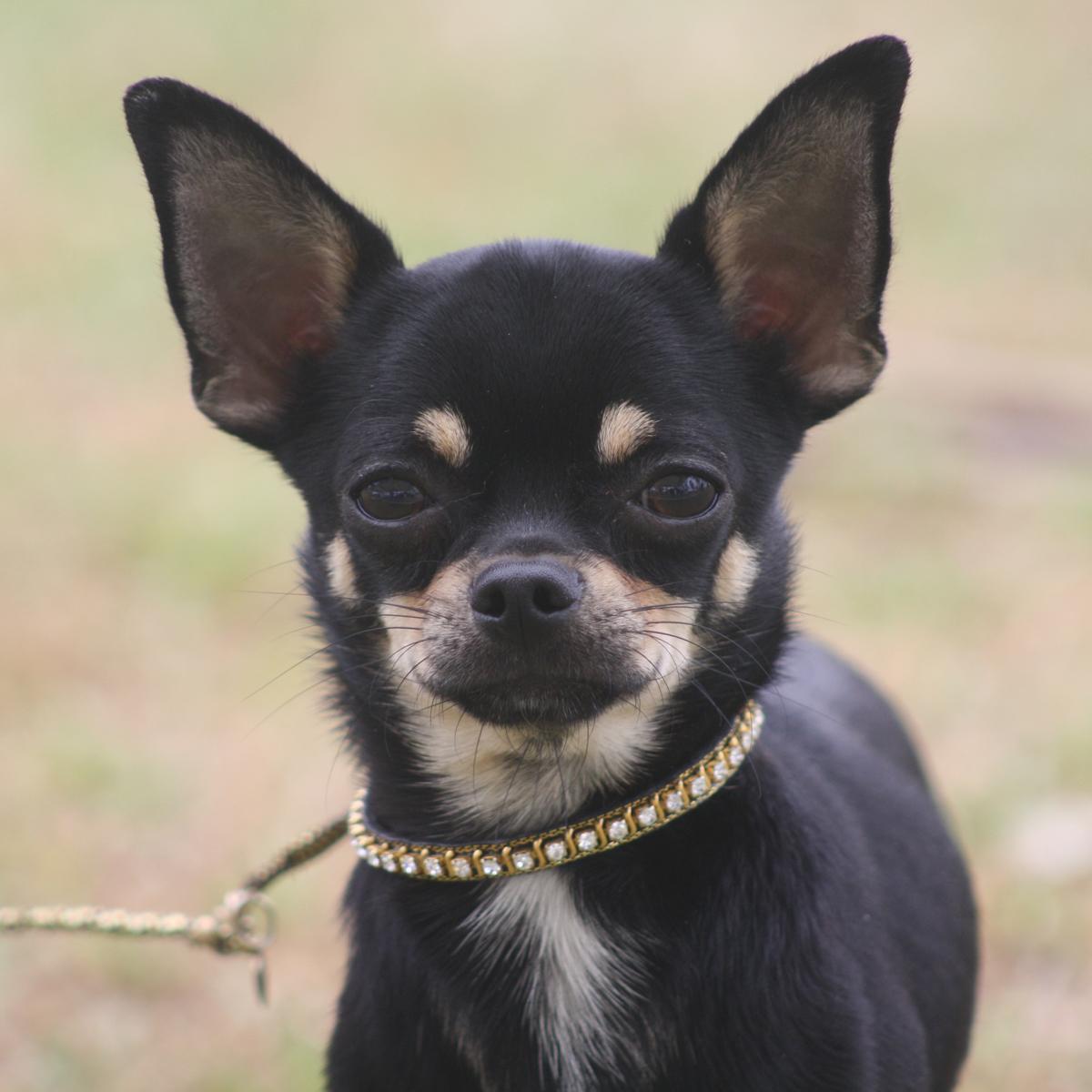 black and tan chihuahua puppies Quotes