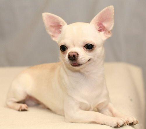 Chihuahua pelo corto nero focato