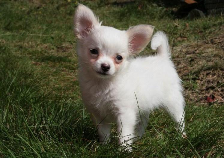 Scegliere Un Cucciolo Chihuahua Toy