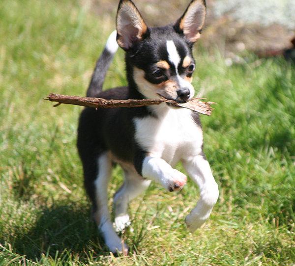 Il Chihuahua è Un Cane Tendenzialmente Molto Obbediente, Per Cui Non è  Difficile Aducarlo Al Richiamo E Allu0027obbedienza; Appena Sentirà Il Suo Nome  Non ...