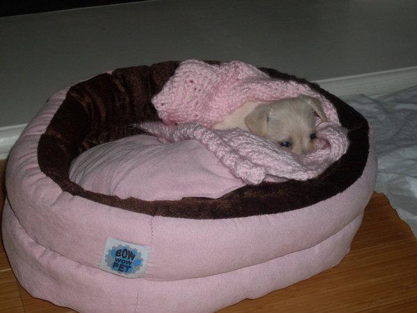 nuova collezione prezzi al dettaglio selezione premium Accessori per il chihuahua   Chihuahua Toy