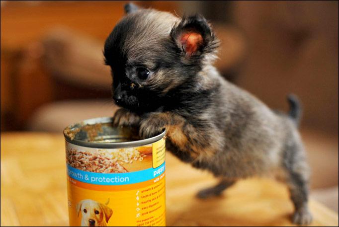 Lo Svezzamento Chihuahua Toy
